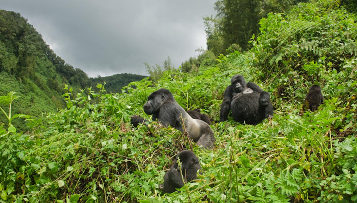Gorilla safaris in Uganda - Bwindi Forest