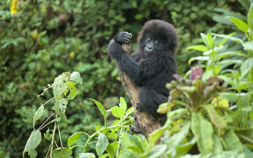 Baby Gorilla in the African Jungle
