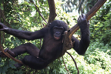 Bonobo in Salonga National Park Congo