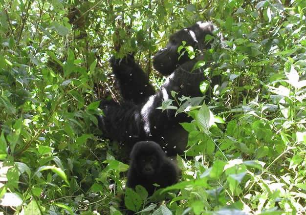 Gorill Trekking Rwanda