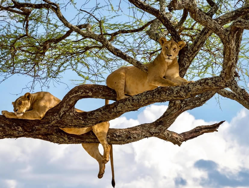 Tree-Climbing Lions Safari in Uganda