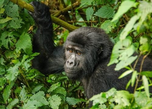Gorilla Trekking in Mgahinga National Park Uganda